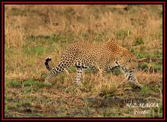 LEOPARD (Panthera pardus) ...MASAI MARA.....SEPT 2018 (M Z Malik) Tags: nikon d800e 400mmf28gedvr kenya africa safari wildlife masaimara keekoroklodge exoticafricanwildlife exoticafricancats flickrbigcats leopard pantheraparduc