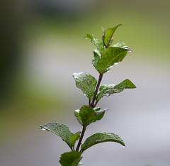 Bokeh In The Rain (aaron_gould) Tags: green grow bokeh nikon d7000 outside nikkor water rain