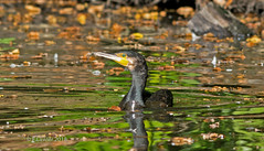 A Beautiful Cormorant on Goffs park pond. R288.84. (timetrialist5249) Tags: crawleywildlife wildlifeuk europeanbirdsandwildlife nature naturephotography wildlife wildlifephotography water pond cormorants autumn pondlife seabird nikond7100 300mmf4afs