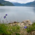 Blossom in Kinsarvik thumbnail