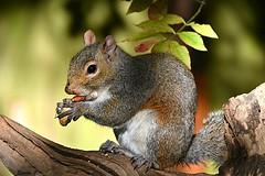 A Happy Squirrel (Eleanor (No multiple invites please)) Tags: squirrel greysquirrel peanut leaf treetrunk goldershillpark london nikond7200 november2018 coth5