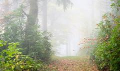 Autumn mist, Pant-du woodland, N/Wales, 2018. (Phlips photos) Tags: 2018 trees fujixt2 fuji60mmmacrolens woods autumn pantdu wales naturesdetail northwales woodland