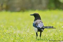 2016.05.27 - 6445 - Pie bavarde Bois Bas © (chmeyer51) Tags: oiseau piebavarde corvidae picapica