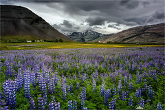 After The Rain (Darkelf Photography) Tags: europe iceland hofn hoffell lupines nature flora rural landscape mountains clouds fields travel outdoors summer hills canon nisi 24105mm 5div maciek gornisiewicz darkelf photography 2018 aftertherain