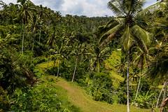 "Balijská ""divočina"" (zcesty) Tags: dosvěta bali indonésie puragunungkawi indonesie2 krajina ostrov palma rýže terasa tampaksiring indonesia id"