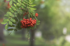 fruitful (rockinmonique) Tags: muttartconservatory berries leaves tree fall macro bokeh light red green moniquewphotography canon canont6s tamron tamron45mm copyright2018moniquewphotography