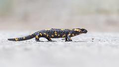 Fire Salamander (Alex Perry Wildlife Photography) Tags: bulgaria westernrodopi salamander amphibian urodela salamandridae salamandrasalamandra firesalamander