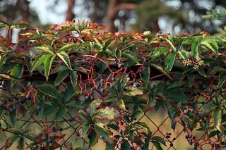 Дикий виноград / Wild grapes