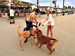 The art of making friends (moonjazz) Tags: dogs friends beach sandiego people woman men funny pretty leash meeting amigos walking new kiss friendly smiles summer boardwalk missionbeach tangled humor companions love intertwined shorts white chance tails wagging legs oops
