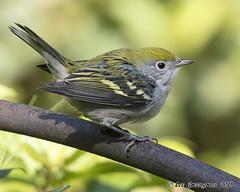 Chestnut-sided Warbler (pandatub) Tags: ebparks ebparksok bird birds warbler chestnutsidedwarbler ardenwood