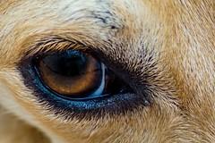 El ojo que todo lo ve (gabrielromeroplana) Tags: ojo tanja perro dog eye macro sony a6000 tamron 70300