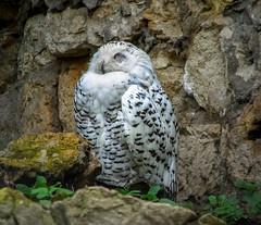 Snowy Owl / Дневная соня (VikTori_kvl23) Tags: сова белаясова owls animal tree forest bird snowyowl