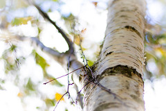 Birch tree ... (Julie Greg) Tags: birchtree birch tree nature colours canon park details autumn