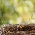 Currawong chicks in the nest thumbnail