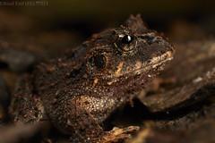 Ruiz's rubber frog (Strabomantis ruizi) (pbertner) Tags: camouflage colombia southamerica valledelcauca yotoco rainforest