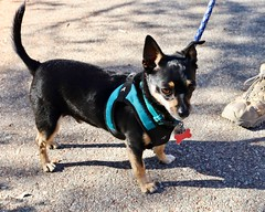 Jasper (Webfoot5) Tags: dog dogs dogsonwalks dogzonwalkz manchesterterrier