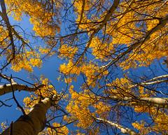 under the aspens (johngpt) Tags: trees filmsimulationpostprocessed proviastandard fujifilmx100f tree aspen santafenationalforest places newmexico santafe unitedstates us treemendoustuesday htmt