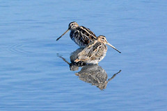 A pair of posing snipe. (E P Rogers) Tags: commonsnipe wader beaks reflections pose gallinagogallinago