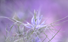 Love in a Mist (Dotsy McCurly) Tags: loveinamist flower lavender blue misty foggy frilly pretty nature beautiful yard plant seeds nj newjersey canoneos80d efs35mmf28macroisstm