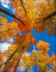 Canopy Of Colour (Rodrick Dale) Tags: canopy of colour autumn maple leafs algonquin provincial park ontario canada