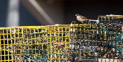 2018-11-12 Gloucester MA (83) (Paul-W) Tags: gloucester massachusetts 2018 sparrow lobstertraps
