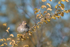 Corn bunting - Grauammer (Claudia Brockmann) Tags: natur nature bulgarien bird birds vögel vogel autumn autumncolours herbst herbstfarben herbstzeit wildlife ammern grauammer cornbunting singvogel wald explore