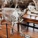 Tapir de l'Inde