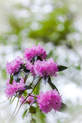 recalling May... (marinachi) Tags: azalea bokeh may flowers pink plant green sundaylights