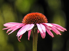 Much-needed colour! (annkelliott) Tags: calgary alberta canada readerrockgarden nature flora plant flower echinacea coneflower daisyfamily asteraceae macro closeup filteraddedinpostprocessing bokeh outdoor fall autumn 29september2018 nikon p900 nikonp900 annkelliott anneelliott ©anneelliott2018 ©allrightsreserved