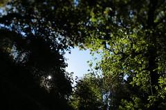 Oaks Bottom (Tony Pulokas) Tags: blur tree oaksbottom portland oregon oaksbottomwildlifepreserve tilt bokeh autumn fall ash oregonash fraxinus forest sun maple bigleafmaple