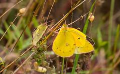 7K8A7588 (rpealit) Tags: scenery wildlife nature weldon brook management area orange sulphur butterfly