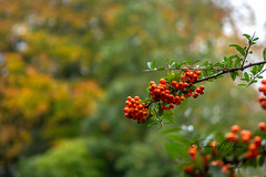 SJ1_2318 - Red firethorn (SWJuk) Tags: burnley england unitedkingdom swjuk uk gb britain lancashire home berries firethorn 2018 oct2018 autumn autumnal autumncolours wildflower nikon d7200 nikond7200 nikkor1755mmf28 rawnef lightroomclassiccc