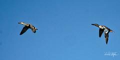 Northern Shoveler Pair In Flight (dcstep) Tags: dsc0911dxo cherrycreekstatepark colorado usa aurora sonya9 fe100400mmf4556gmoss nature urban urbannature allrightsreserved copyright2018davidcstephens dxophotoab ducks duck northernshoveler pair bif birdinflight flying flight