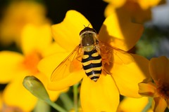 October Hoverfly (suekelly52) Tags: syrphusribesii hoverfly diptera autumn fly insect flower