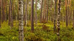 Birch Trees Reservat Zakret (L I C H T B I L D E R) Tags: poland polen polska masuren mazury masuria mazuria krutyn krutynia reservat reservatbirkebirkenbirchbirchesforestwaldzakret zakret nature natur wald forest ermlandmasuren ermland warmia gras holz bäume baum woodland