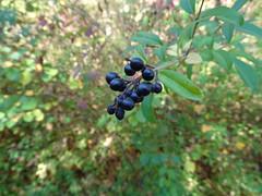 Blaue Beeren (Thomas230660) Tags: sonne herbst flora sony arnstadt wanderung landschaft landscape bäume thüringen trees blätter