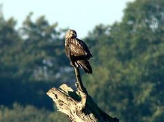 Buzzard (Rough-legged) 21.10.18 (ericy202) Tags: buzzard perch sky roughlegged buteolagopus titchwellrspb