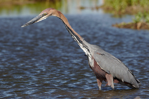 "Goliath Heron, Ardea goliath at Marievale Nature Reserve, Gauteng, South Africa • <a style=""font-size:0.8em;"" href=""http://www.flickr.com/photos/93242958@N00/45499622381/"" target=""_blank"">View on Flickr</a>"