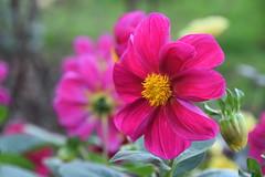 Red Dahlia (Manoo Mistry) Tags: dahlia flowers plant parks garden nikon nikond5500 tamron tamron18270mmzoomlens closeup