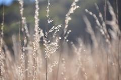 autumnal jewels (christiaan_25) Tags: grass tallgrass seeds stems plants nature autumn fall soft delicate light sunlight sunshine texture layers