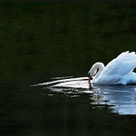 30/10/2018 - PDI. League 2. Open. Mute Swan by Andrew Chu