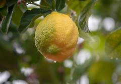 Lemon on a tree in the rain (Merrillie) Tags: lemon citrus natural tree raining nature growing flora outdoors green yellow fruit waterdrops fruittree