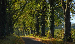 Lime trees, Bradfield, Berkshire, England (Oswald Bertram) Tags: westberkshire countryside northwessexdowns northwessexdownsaonb automne autumn otoño herbst fall