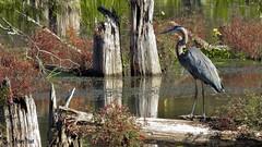 Cypress Swamp (Suzanham) Tags: heron swamp cypress greatblueheron bird wetlands wadingbird nature wildllife bog reflections