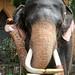 Elephant Portrait (1X7A4585b)
