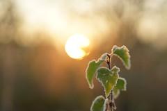 icy sunrise (Schagie) Tags: sunrise zonsopkomst moerenburg tilburg holland natuur nature vroeg early koud cold ice ijs bevroren zon sun bokeh licht light blad leaf blaadjes leafs