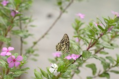 The Butterfly moments - a 3 dimensional view EXPLORED (Vidya...) Tags: butterfly india rose periwinkle painted lady nature 3d