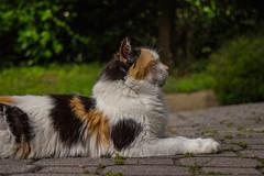 """I am the Sphinx"" (Marta Panzeri) Tags: gatti gatto gatta cat female sfinge sphinx pet domestic animale animal outdoor posing pose sleepy furry cute"