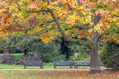 SJ1_1997 - Standing room only... (SWJuk) Tags: swjuk uk unitedkingdom gb britain england lancashire burnley home towneley towneleyhall grounds tree autumn autumnal autumncolours leaves foliage benches empty 2018 oct2018 nikon d7200 nikond7200 nikkor70200mm rawnef lightroomclassiccc fall