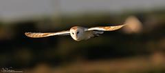 Bright Eyed Barn Owl (Steve (Hooky) Waddingham) Tags: stevenwaddinghamphotography animal bird british countryside nature wild wildlife prey flight owl